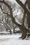 Snow covered trees and lawn in Central Park. Snow covered trees, benches, and lawn in Central Park, New York City royalty free stock photography