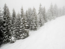 Snow covered trees in mist Stock Image