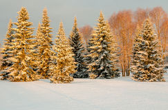Snow covered trees in the morning light Royalty Free Stock Image