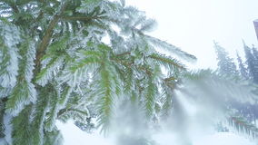 Snow covered trees. In morning sun snow covered tree branches stock footage