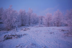 Snow-covered trees in the mountains, in the light after sunset. Snow-covered trees in the mountains, illuminated in pink and blue rays of sunset Royalty Free Stock Photos