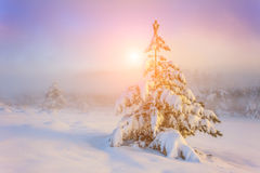 Snow-covered trees in the mountains at sunset. Stock Photography