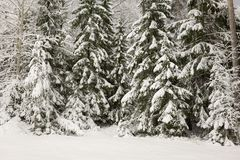 Snow covered trees at night. In winter forest Stock Photos