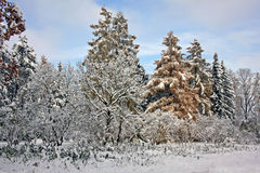 Snow-covered trees in the november day Royalty Free Stock Images