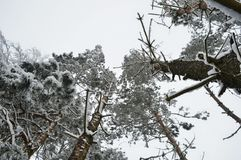 Snow-covered trees photographed from below. Mood photo of huge snow-covered trees from a human perspective in winter Stock Image