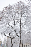 Snow-covered trees Stock Photo