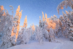 Snow-covered trees in the rays of the rising sun Royalty Free Stock Photography