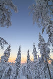 Snow-covered trees in the rays of the rising sun Stock Photo