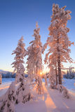 Snow-covered trees in the rays of the rising sun Stock Photos