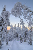 Snow-covered trees in the rays of the rising sun Royalty Free Stock Images