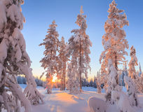Snow-covered trees in the rays of the rising sun Stock Image