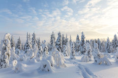 Snow covered trees, Riisitunturi National Park. Snow covered trees in Riisitunturi National Park Lapland, Finland Royalty Free Stock Images
