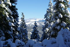 Snow Covered Trees In The Sierra's. Trees covered in fresh snow looking towards the Sierra Crystal Range Stock Images