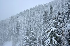 Snow covered firs in the mountains. Snow covered trees. Snowy mountains. Snowy trees. Spruces, firs royalty free stock images