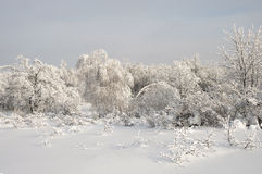 Snow-covered trees in a snowy winter forest Royalty Free Stock Photos