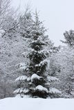 Snow covered trees. In Southern Quebec stock photo