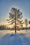 Snow-covered trees in the sun Stock Photography