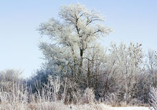 Snow-covered trees in the sunlight Royalty Free Stock Photography
