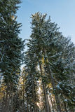 Snow covered trees with sunlight shining through Royalty Free Stock Image