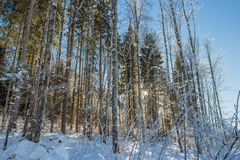 Snow covered trees with sunlight shining through Royalty Free Stock Photos
