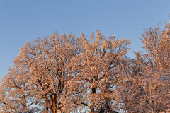 Snow covered trees in the sunset Stock Image