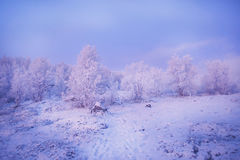 Snow-covered trees in sunset light. Snow-covered trees in the mountains, illuminated in pink and blue rays of sunset Royalty Free Stock Photography