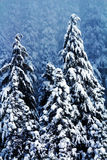 Snow Covered Evergreen Trees Abstract at Snoqualme Pass Washingt Royalty Free Stock Photos