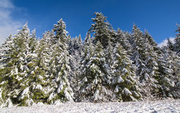 Snow-Covered Trees Under Blue Skies and Clouds Royalty Free Stock Photography