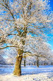Snow-covered trees in the winter Stock Images