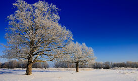 Snow-covered trees in the winter Royalty Free Stock Photo