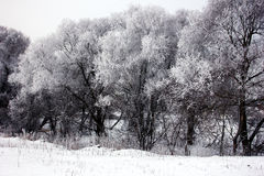 Snow covered trees. In winter Stock Photo