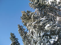Snow covered trees in winter. Low angle view of snow covered evergreen trees in winter, blue sky background Stock Photos