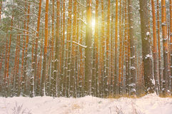 Snow covered trees of winter forest. My favourite season is winter, I especially like the winter forest royalty free stock image