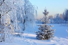 Snow covered trees in winter forest stock photo