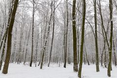 Snow covered trees in the winter forest royalty free stock photos
