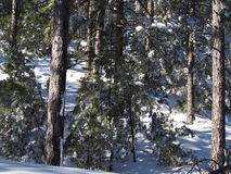 Snow covered trees in winter forest. Winter forest with frosted trees and fresh snow on the ground royalty free stock image