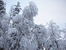 Snow covered trees of winter forest in frosty mist Royalty Free Stock Photo