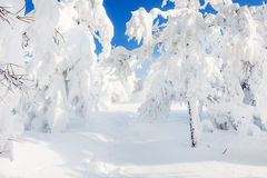 Snow covered trees in winter forest after snowfall Stock Images