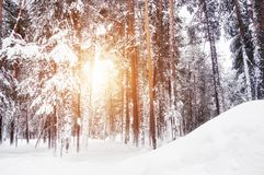 Snow-covered trees in winter forest at sunset. Beautiful winter landscape royalty free stock images