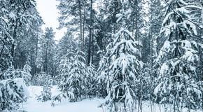 Snow-covered trees  in Winter Forest Stock Photography