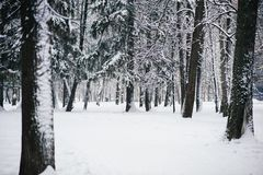 Snow covered trees in the winter forest royalty free stock photo