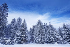 Snow covered trees Royalty Free Stock Photography