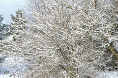 Snow covered trees in winter Royalty Free Stock Photography