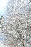 Snow covered trees in winter Royalty Free Stock Images