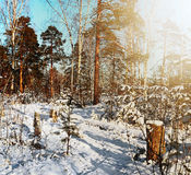 Snow covered trees in winter wood Stock Photo