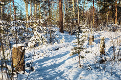 Snow covered trees in winter wood Stock Image