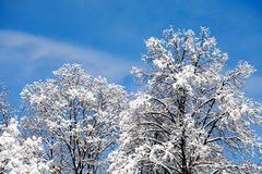 Snow Covered Treetops On Blue Sky Background. Beautiful Winter Weather Forest Landscape. Royalty Free Stock Image