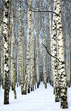 Snow covered trunks of birch trees in sunny weather Stock Photos
