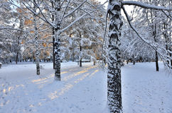 Snow covered trunks of birch trees in winter city park Royalty Free Stock Image
