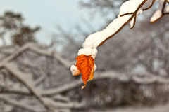Snow-covered twig Royalty Free Stock Photo